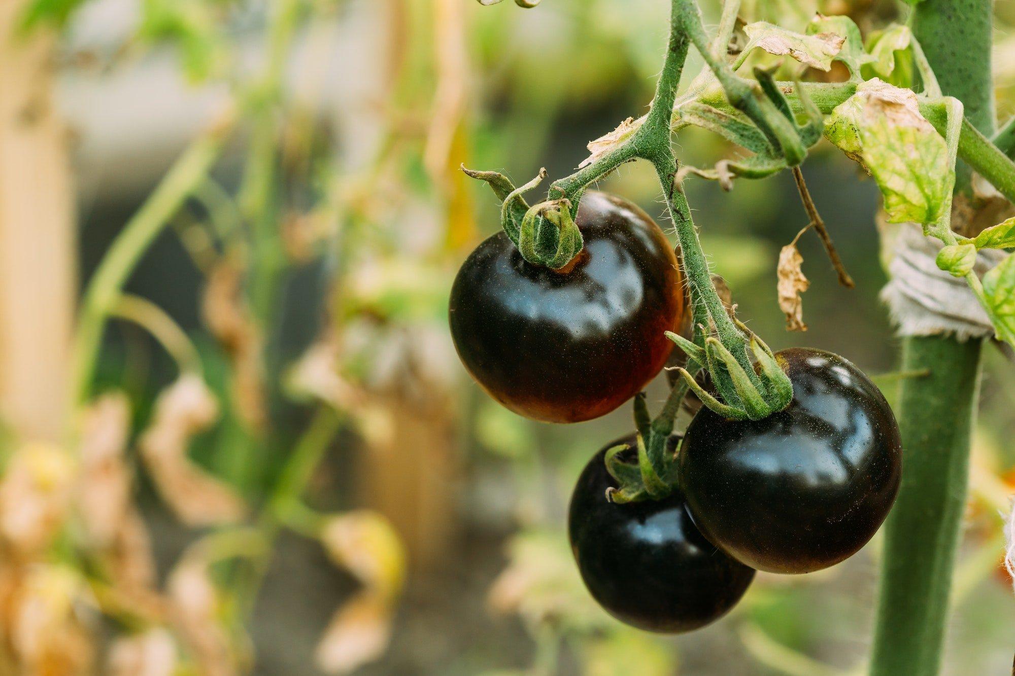 Black Growing Organic Tomato. Homegrown Tomatoes In Vegetable Garden