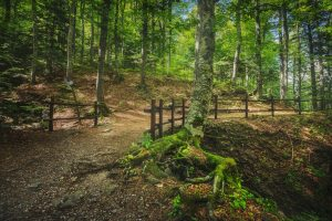 Abetone, path inside a fir forest. Apennines, Tuscany, Italy.