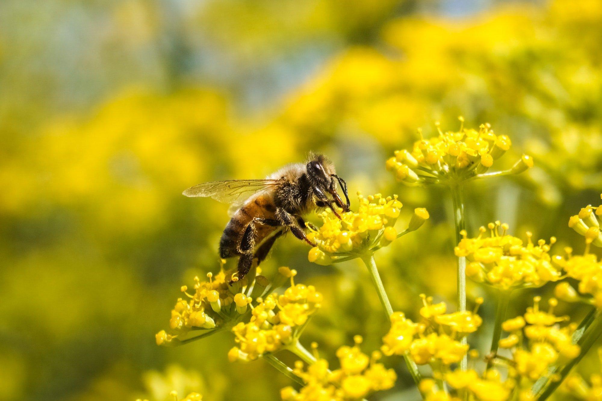 Bee on fennel flower, California