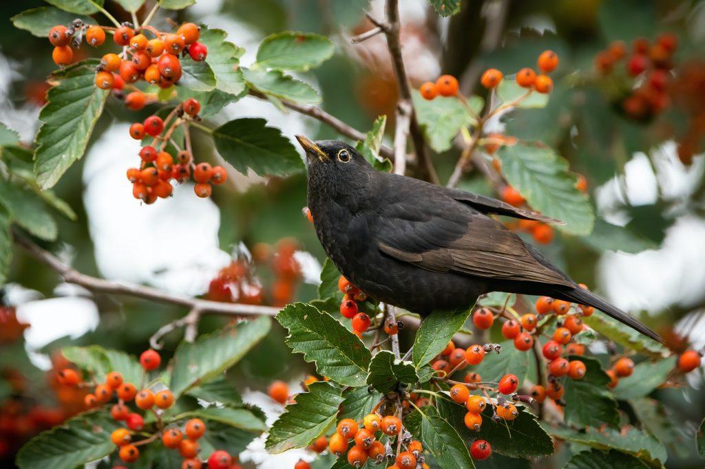 Common blackbird feeding on rowan in autumn nature