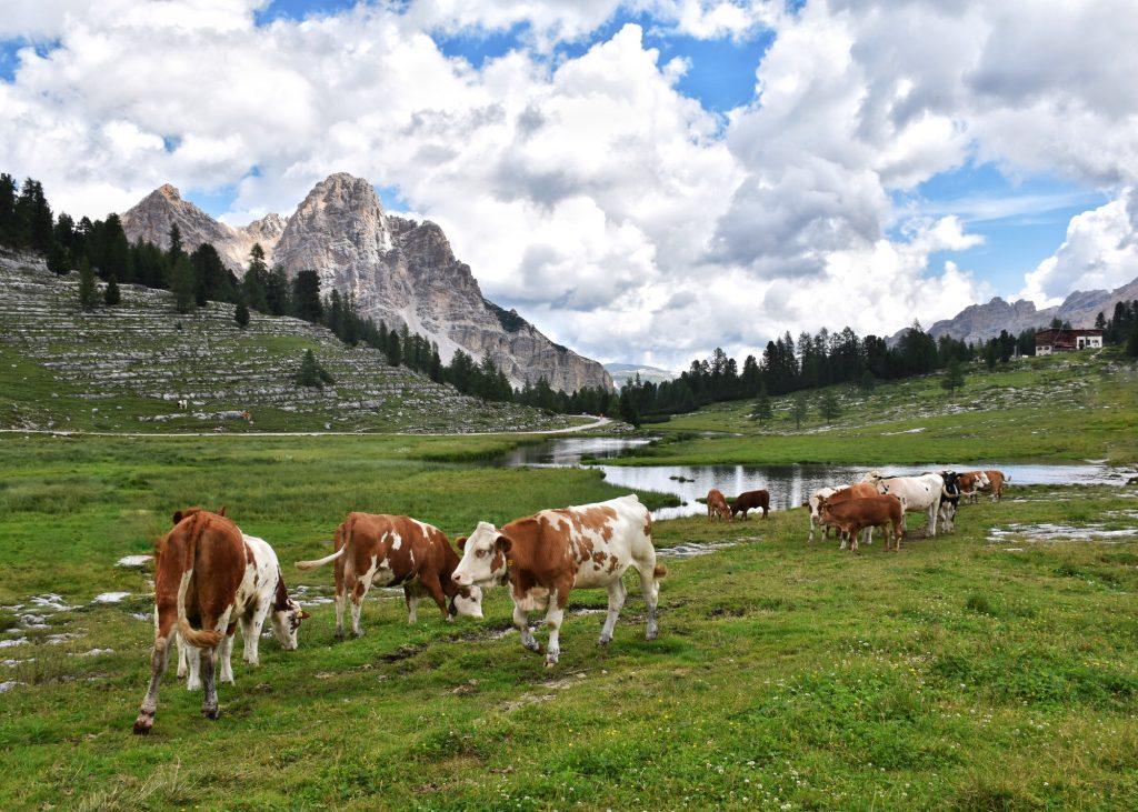DOLOMITI & COWS