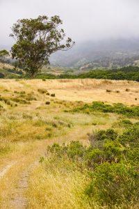 Eucalyptus tree on the trails of Point Reyes National Seashore, California