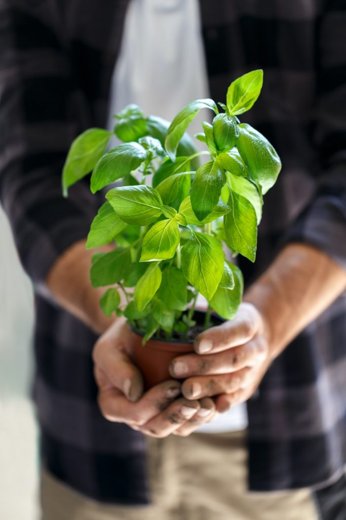 Gardener with basil in a pot