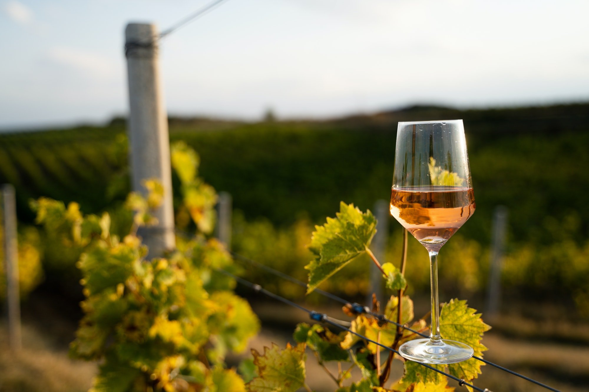 glass of rose wine in the vineyard with blue sky