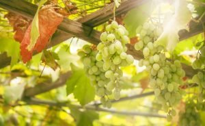 Green grapes on the vine, white wine variety in the vineyard, summer natural background