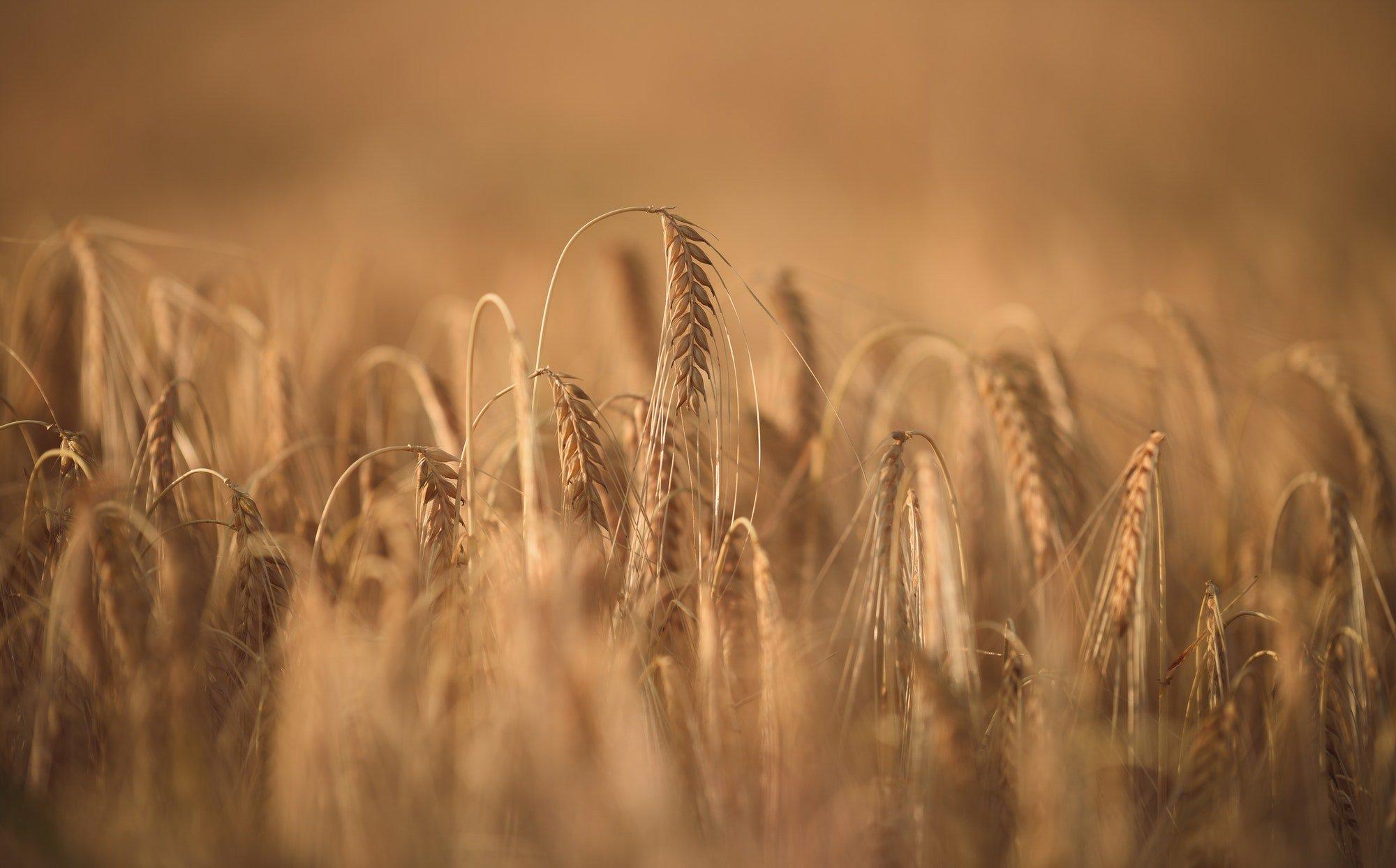 Wheat field background in summer