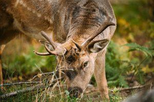 Belarus. Fallow Deer Or Dama Dama Grazes In Autumn Forest. Close Up Deer