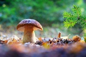 Big white mushroom porcini in autumn forest