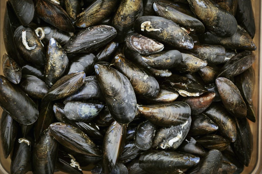 Close up of fresh Black Mussels.