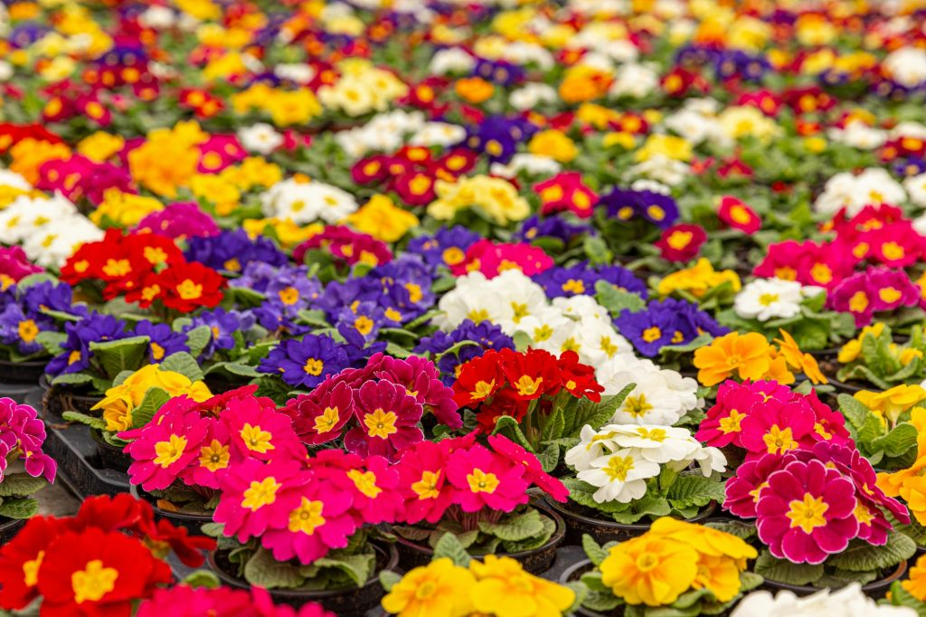 Colorful primroses in early spring