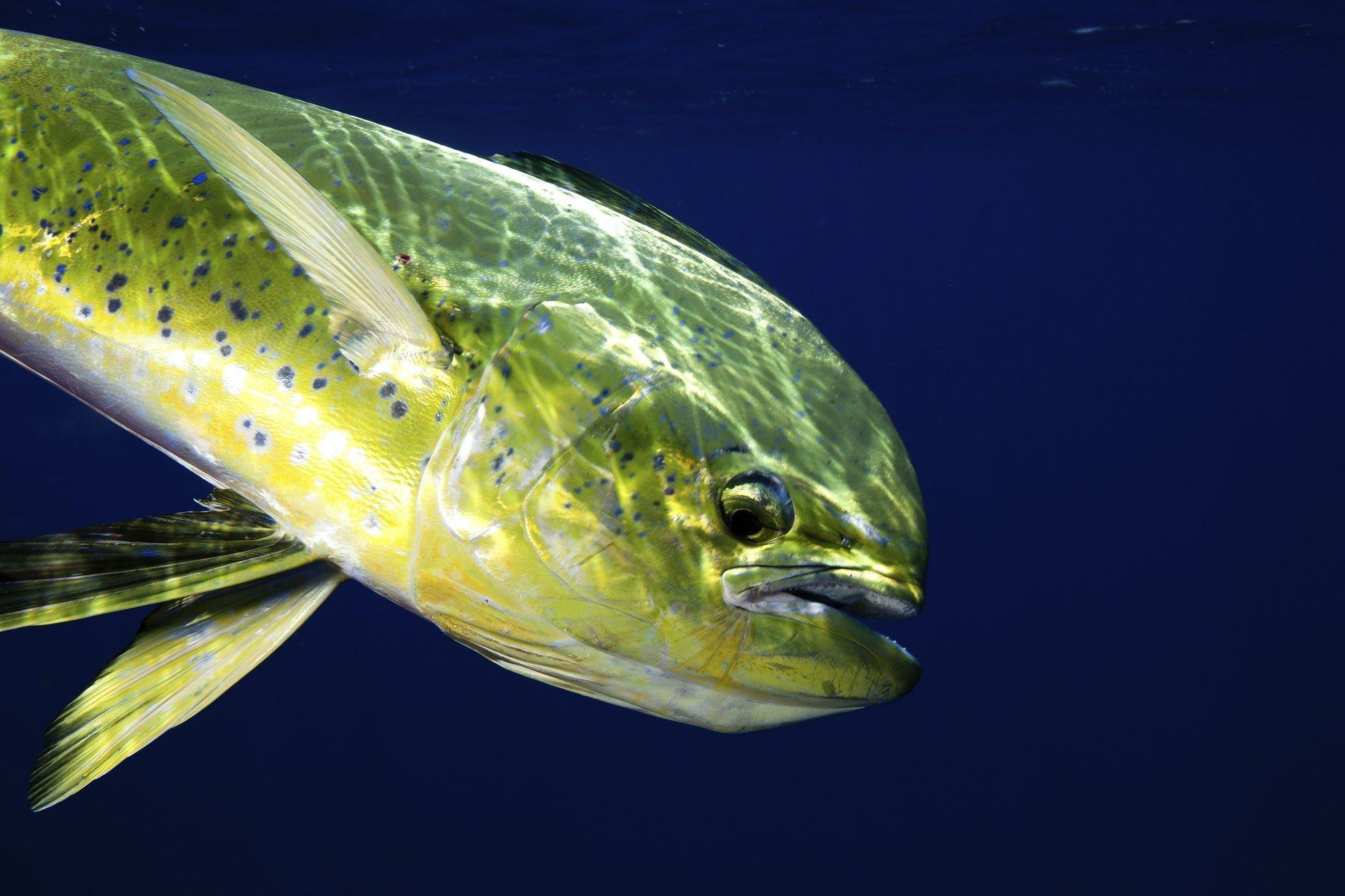 The Gamefish, Coryphaena hippurus or dolphin fish, close up.