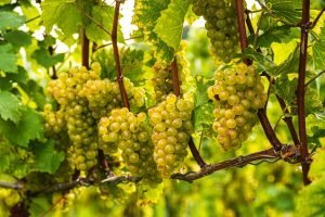 White grape vine on Vineyard in autumn