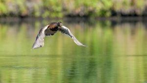 Wild duck . Wild duck on takeoff, flying, splashing.