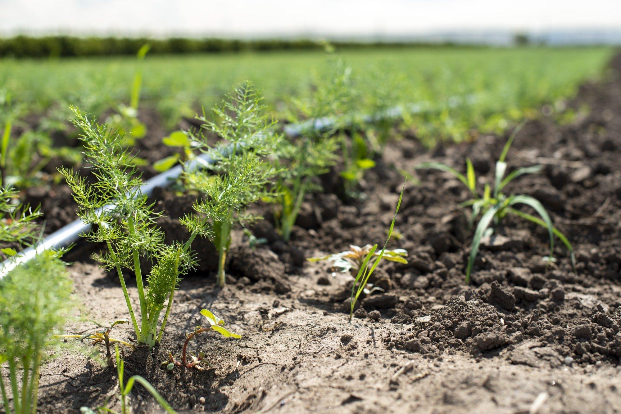 Fennel plantation. Growing fennel